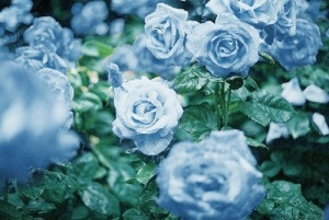 Rain blue flowers